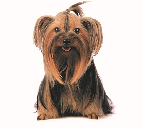 Goldistock 2020 Large Wall Calendar Yorkshire Terriers 12 X 24 Open Thick Sturdy Paper Great Gift Idea Yorkies Adorable Darling Dogs