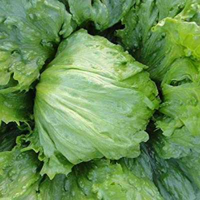 Afco Vegetable Seeds for Planting, 100/200Pcs Delicious Sweet Lettuce Lactuca Farm Home Garden Vegetables Seeds 200pcs : Garden & Outdoor