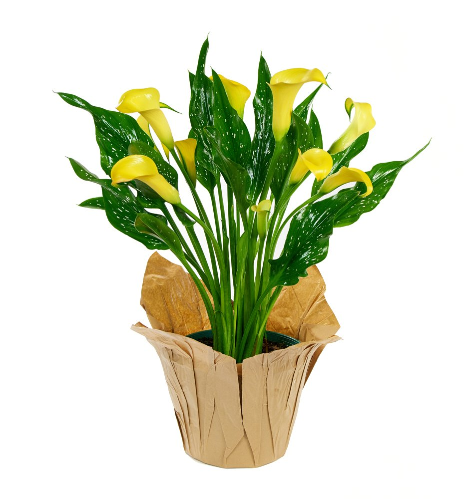 KaBloom Live Plant Collection: 15'' Yellow Calla Lily Plant in a 6'' Kraft Covered Pot