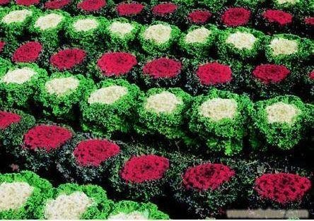[60 Ornamental Cabbage Mixed Colors Flower Seeds] (Ornamental Cabbage)