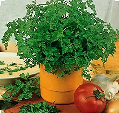 Chervil -350 Seeds-Culinary and Medicinal - NON-GMO,Organic and Open Pollinated.