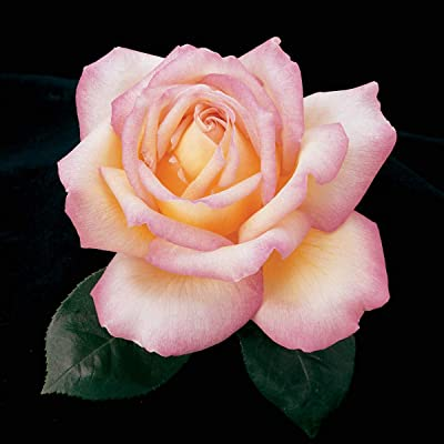 SPRING HILL NURSERIES - Peace Hybrid Tea Bare Root Rose - Creamy Yellow Flowering Traditional Rose That is a Garden Standout - Includes one Bare Root per Offer : Garden & Outdoor