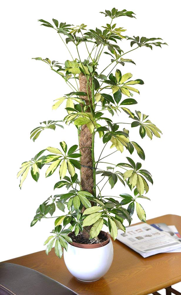Indoor Plant -House or Office Plant -Schefflera Trinette arborea Variegata - Variegated Umbrella Plant 90CM Olive Grove