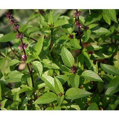100 Bulk Seeds Basil Cinnamon Organic Ocimum Basilicum SDJ04 : Garden & Outdoor