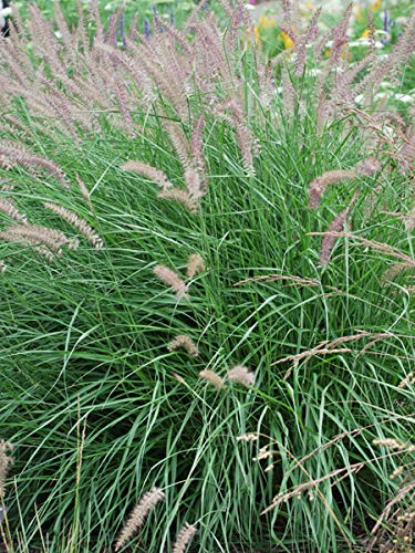 Perennial Farm Marketplace Pennisetum o. 'Karley Rose' ((Oriental Pink Fountain) Ornamental Grass, Size-#1 Container, Rosy-Mauve Blooms