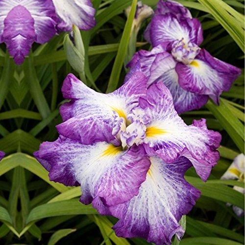 Japanese Iris - 3
