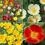 David's Garden Seeds Flower Poppy California Dreaming Mix SL11VF (Multi) 500 Open Pollinated Seeds