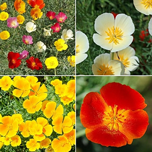 David's Garden Seeds Flower Poppy California Dreaming Mix SL1111 (Multi) 500 Non-GMO, Open Pollinated Seeds