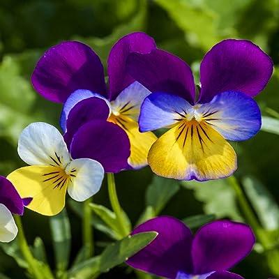 Outsidepride Viola Johnny Jump Up Plant Flower - 5000 Seeds : Flowering Plants : Garden & Outdoor