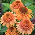 "(PCONS)~""SUPREME CANTALOUPE"" CONEFLOWER~See?ds!!!!~~~~Salmon Pompom!!"