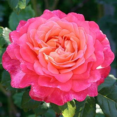 Own-Root One Gallon Portlandia Shrub Rose by Heirloom Roses : Garden & Outdoor