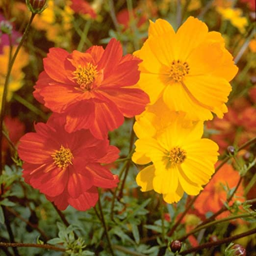 bright light mixed colors 100 COSMOS Seeds