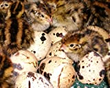 Turnbull FarmsTM Purebred Jumbo Brown Coturnix Quail Hatching Eggs - 1 Dozen (12)