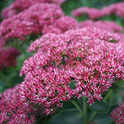 CANHOT 10/30/50/100 Sedum Telephium Seeds Autumn Joy Flowers Garden Plants Flowers : Garden & Outdoor