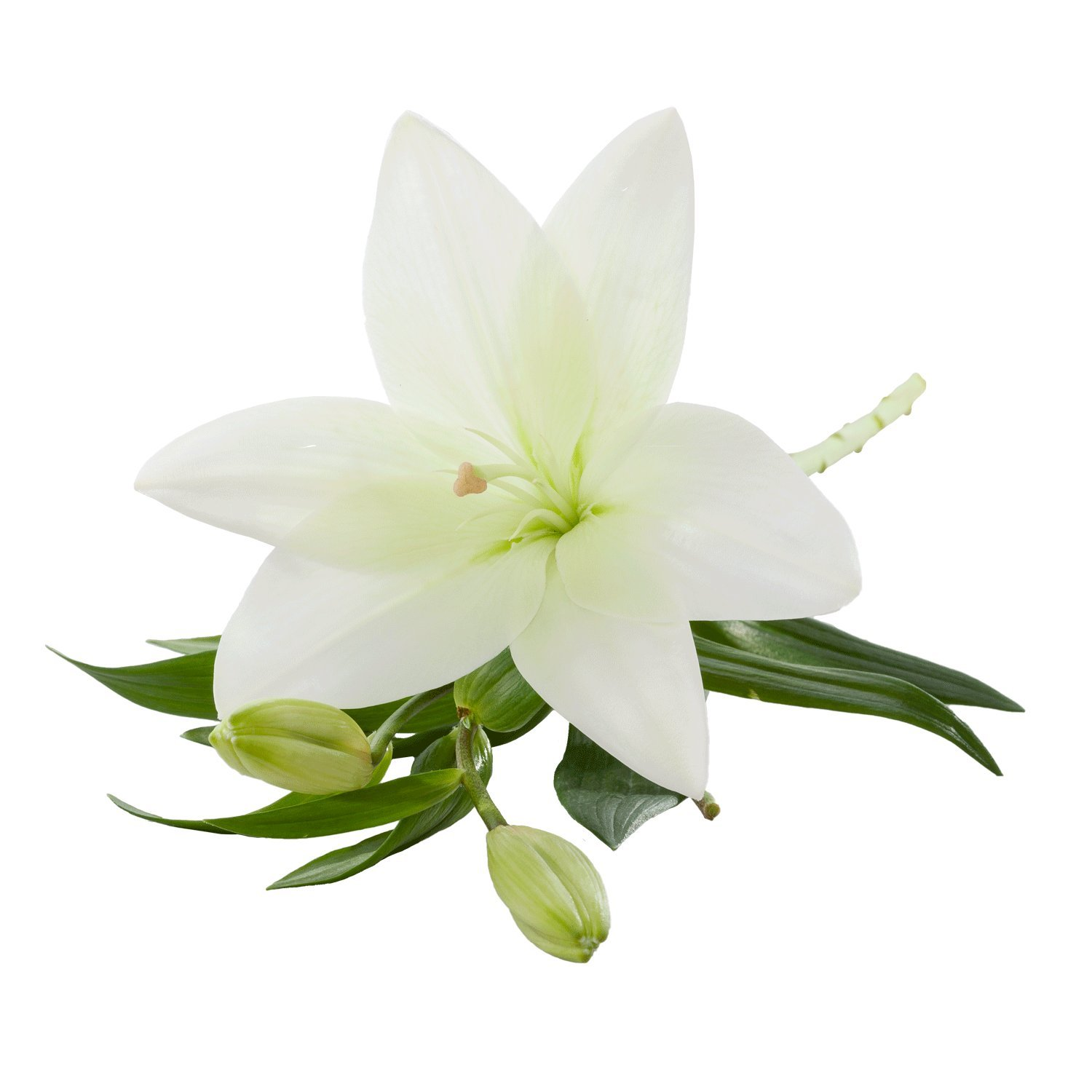 Asiatic Lilies | White - 40 Stem Count by Flower Farm Shop