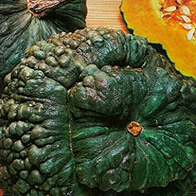 Kings Seeds - Winter Squash Marina di Chioggia (Kabocha Squash) - 15 Seeds