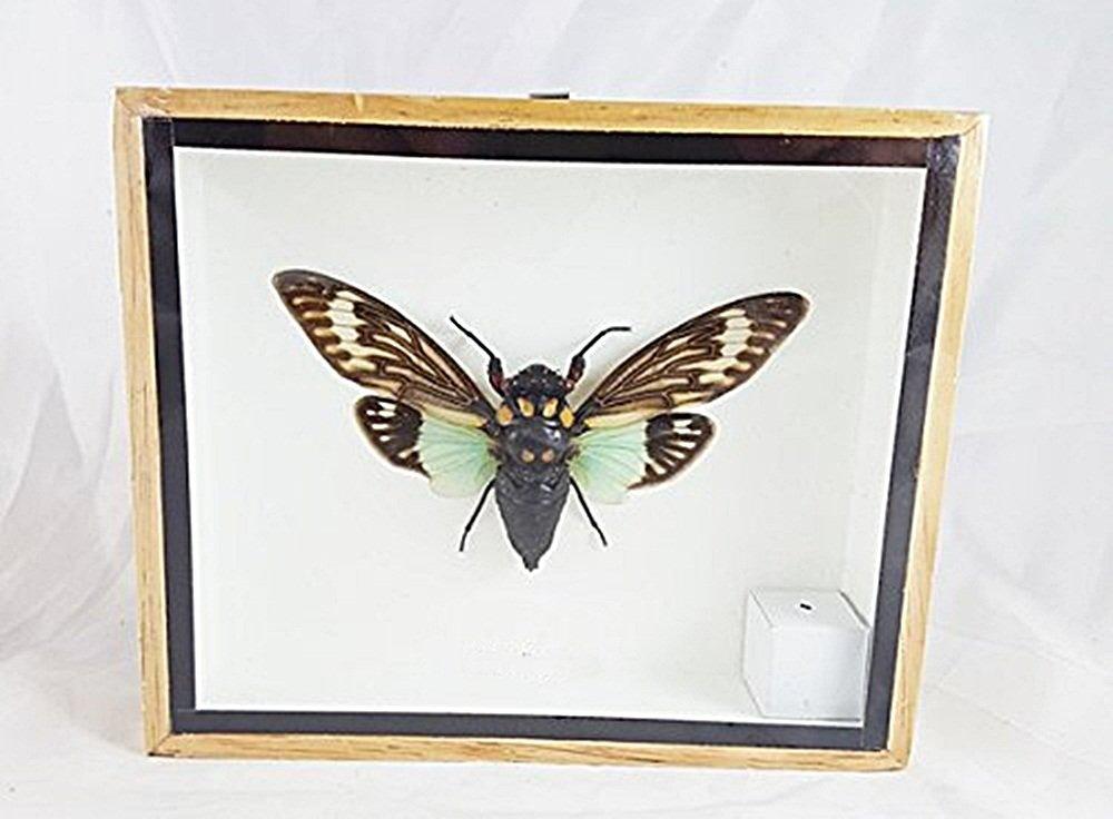 Real Moth Mounted Tasena Stendida Beetles Bug Insect Winged Taxidermy Entomology Display Boxed