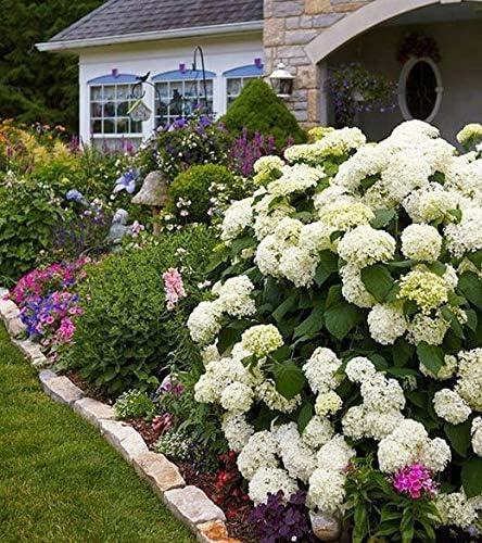 20 piezas de semillas de hortensias, flores de interior, semillas, todo tipo de colores, decoración de jardinería fácil de semillas: 4: Amazon.es: Jardín