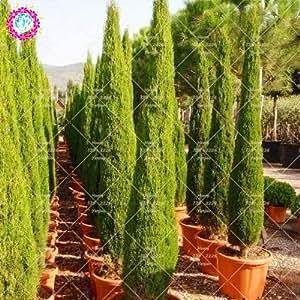20pcs bolsa cipreses semillas semillas de con fera for Siepe highlander