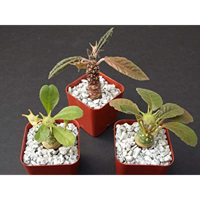 "DORSTENIA Collection Variety Mix Exotic Bonsai Africa Caudex Rare 3 Plant 2"" Pot: Garden & Outdoor"