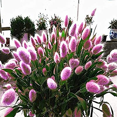 Grass Weed - 100 Pcs/Bag Pennisetum Alopecuroides Bonsai Ornamental Plant for Home Perennial Easy to Grow : Garden & Outdoor