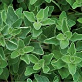 David's Garden Seeds Herb Oregano Greek OS930A (Green) 200 Non-GMO, Open Pollinated Seeds