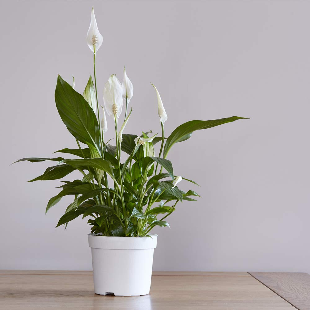 Peace Lily Air Purifying and Filtering House Plant, Compact and Bushy with White Flowers, 1 x Spathiphyllum Torelli 'Air So Pure' Plant in a 12cm Pot by Thompson and Morgan THOMPSON & MORGAN