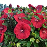 bush hibiscus VINTAGE WINE hardy red perennial 2.5'' pot = 1 Live Potted Plant