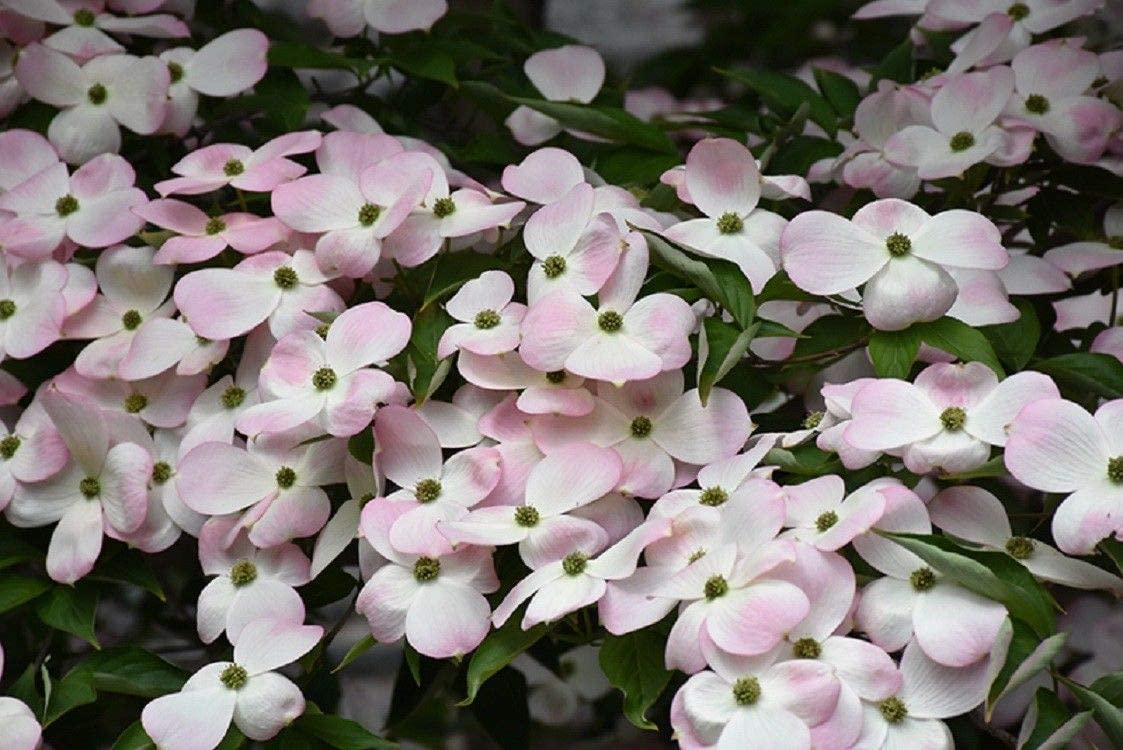 Amazon Com 5 Seeds Stellar Pink Dogwood Tree Flowering Hardy