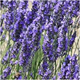 500 Seeds, Spike Lavender Seeds (Lavandula latifolia)