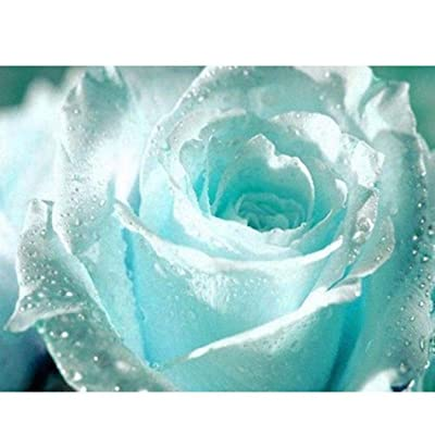 QiBest New Nice Adorable Flower Fragrant Blooms Light Blue Rose Seeds Flowers : Garden & Outdoor