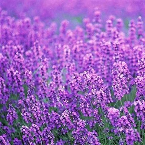 (Nianyan 200pcs/pack France Provence Lavender Seeds to Grow Fragrant Flower Plant Seeds Home Garden)