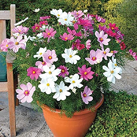 Splendour Seeds Cosmos Dwarf Sensation Mix Flower Seeds Amazon In Garden Outdoors