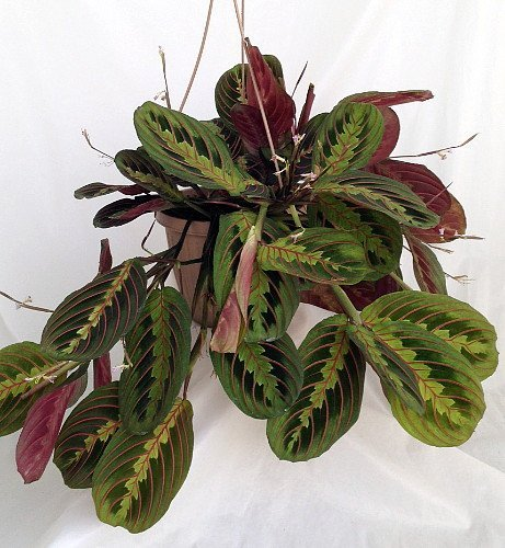 Red Prayer Plant - Maranta - Easy to Grow House Plant - 6