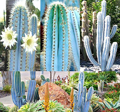 BIG PACK - (200) Pilosocereus BLUE RARE Cactus Mix - CACTUS Seeds GORGEOUS BLUE - Excellent For Greenhouse Or As House Plants - FRESH CACTUS SEEDS - By MySeeds.Co (Pilo. Blue Mix - BIG PACK) by MySeeds.Co - BIG PACK Seeds