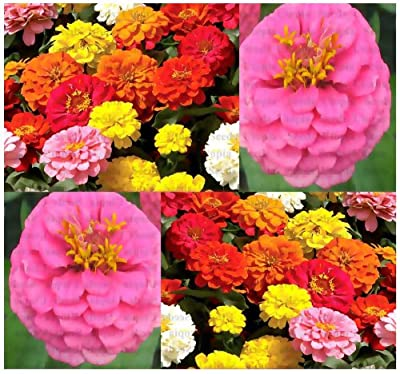 150 x ZINNIA ELEGANS MIX FLOWER SEED - GIANT CALIFORNIA ZINNIA MIX SEEDS - HEAVY BLOOMS - Showy Flowers Extended Blooms