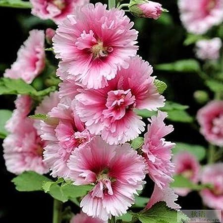 Aerlan Flores Paisaje para cercas,Semillas de Malva de Doble Flor Jardín Jardín Planta Verde Balcón Flores en maceta-5000_Rosa,Maceta para Plantas de jardín/Interiores: Amazon.es: Hogar