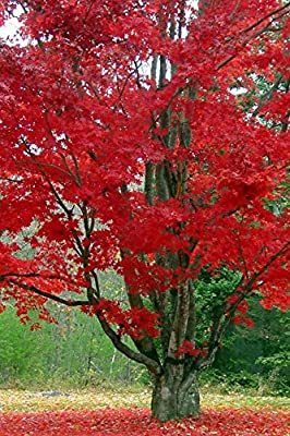 TreesAgain Potted Red Maple Tree - Acer rubrum - 14 - 20+ inches (NO SHIP to UT, ID, OR and WA)