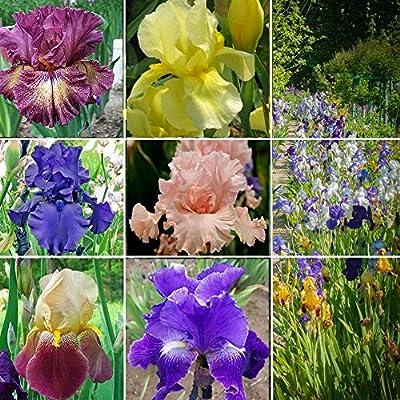 6 Rhizomes of Tall Bearded Iris Collection - Exotically glamorous ruffled blooms aka supermodels of irises!