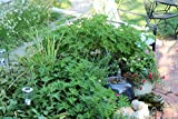 Clovers Garden 2 Citronella Mosquito Repellent Plants in 4-Inch Pots – Citrosa Geranium Plant Naturally Repels Mosquitos, No See Ums and Other Flying Insects
