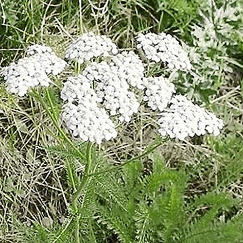 Everwilde Farms - 2000 Western Yarrow Native Wildflower Seeds - Gold Vault Jumbo Seed - Yarrow Gold