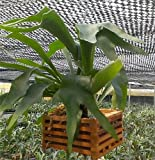 5 Fast Growing Baby Staghorn Ferns - Netherlands variety