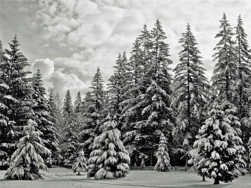 Cms Snowy Forest Black White Pine Winter Photo Fine Art Print Poster Home Decor