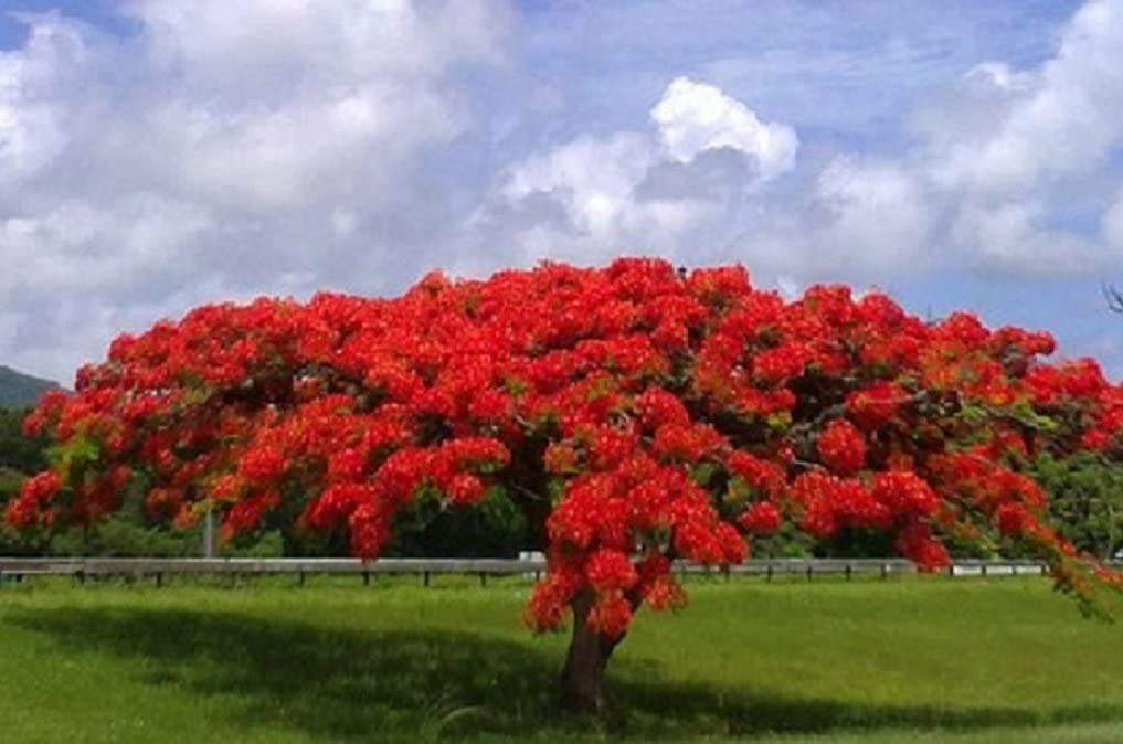 Flamboyant Flame Tree Fresh Seed