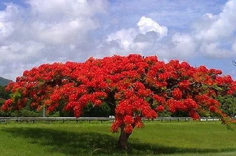 Flamboyant árbol de llama, Delonix regia, Royal Ponciana 20 semillas: Amazon.es: Jardín