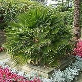 【種子】Chamaerops Humilis ★ヤシ(椰子) チャメロップス・ヒュミリス◎チャボトウジュロ (矮鶏唐棕櫚)◆5粒♪