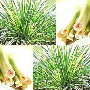 200 EAST INDIA C. flexuosus ~ LEMON GRASS LEMONGRASS SEEDS ~Used fresh or dried