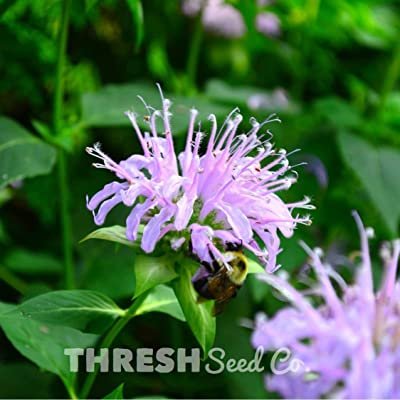 Wild Bergamot (bee Balm) - 250 Seeds : Garden & Outdoor