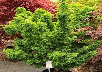 Amazoncom Lions Mane Japanese Maple Acer Palmatum Shishigashira