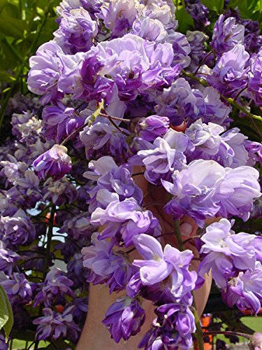 BLACK DRAGON WISTERIA - DOUBLE FLOWERING FRAGRANT VINE 2 - YEAR LIVE PLANT by Japanese Maples and Evergreens (Image #5)
